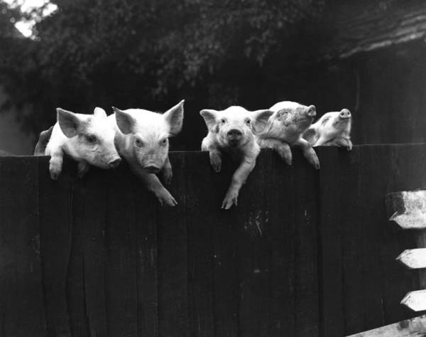Pig Photograph - Wall Pigs by Fox Photos