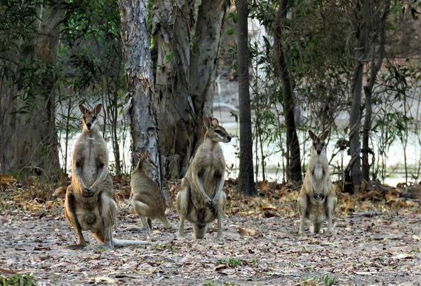 Photograph - Wallabies 1 by Joan Stratton