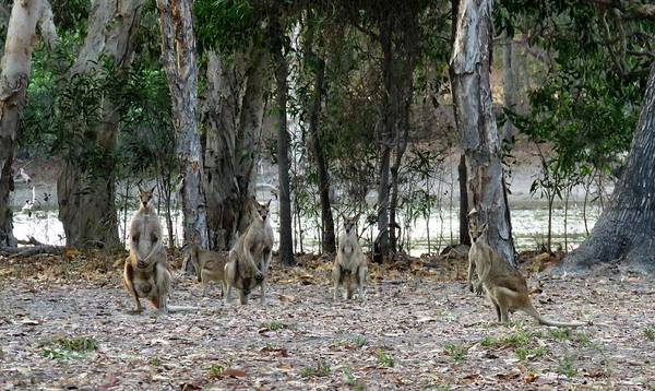 Photograph - Wallabies 2 by Joan Stratton