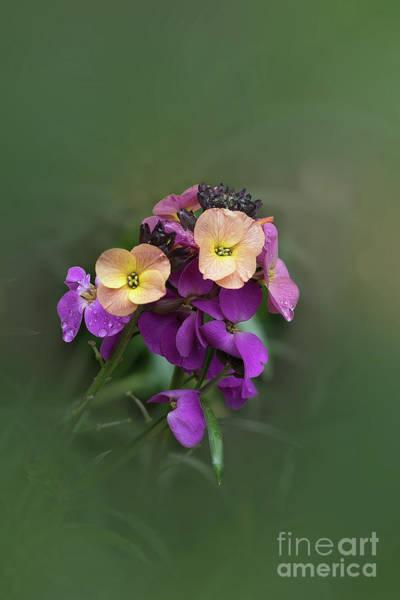 Photograph - Wallflower by Elaine Teague