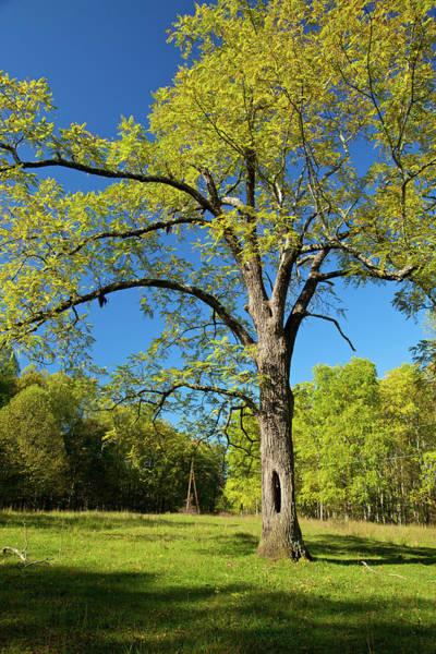 Hardwood Photograph - Walnut Tree by Mountainberryphoto