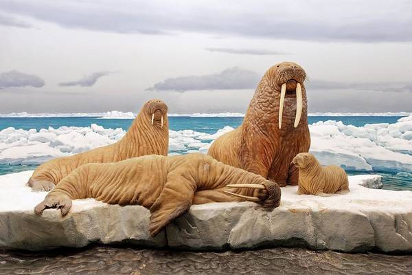 Photograph - Walrus Diorama - La County History Museum by KJ Swan