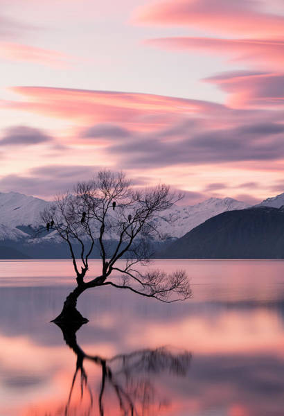 Lakes Region Photograph - Wanaka Willow Tree With Roosting Birds by Dan Goodwin