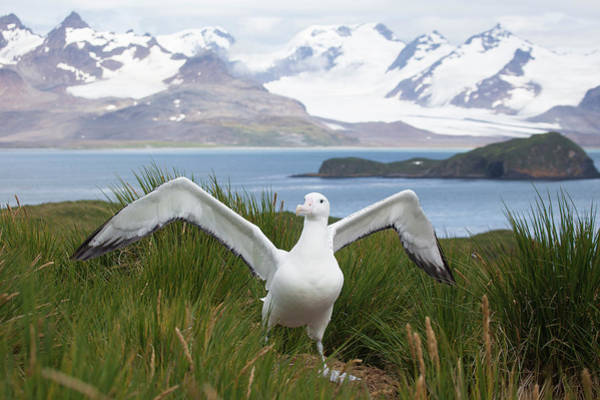 Wanderings Photograph - Wandering Albatross In South Georgia by Galaxiid