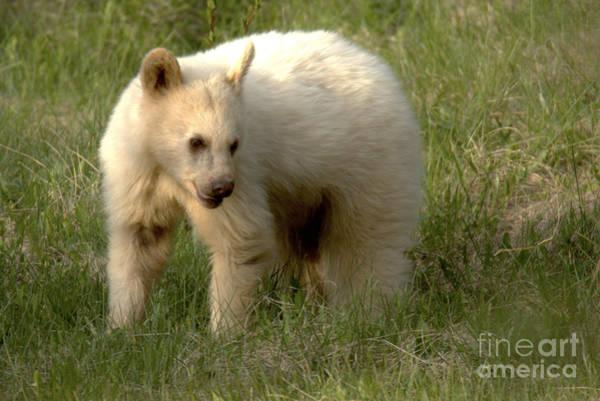 Photograph - Wandering White Black Bear Closeup by Adam Jewell