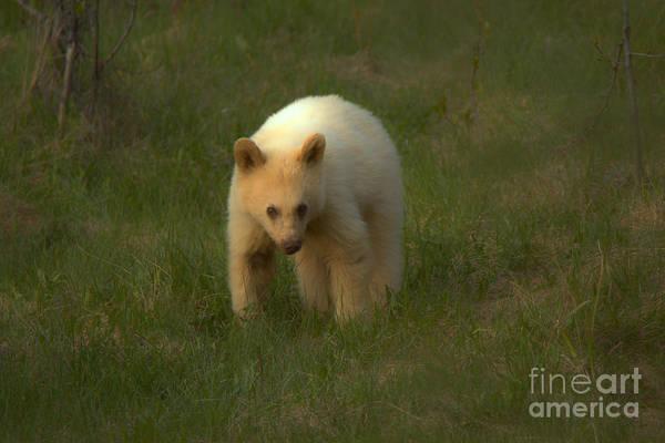 Photograph - Wandering White Black Bear Cub by Adam Jewell