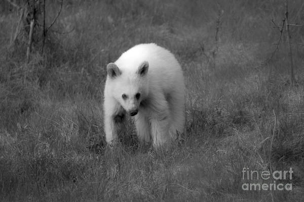 Photograph - Wandering White Black Bear Cub Black And White by Adam Jewell