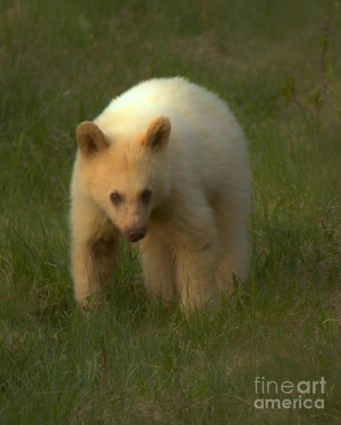 Photograph - Wandering White Black Bear Cub Closeup by Adam Jewell