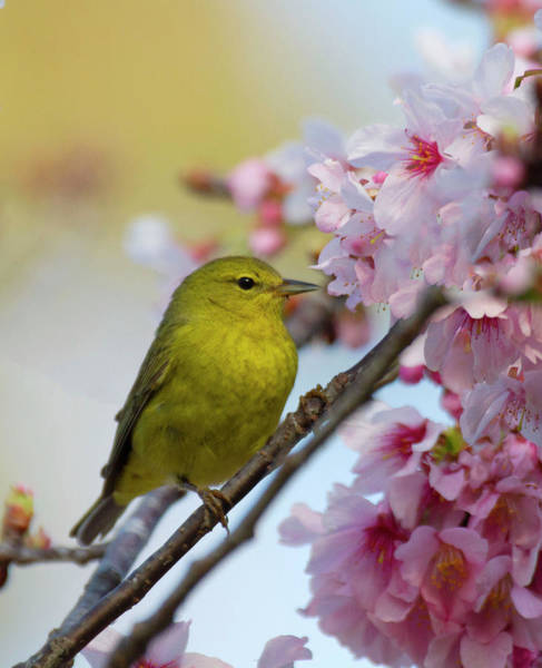 Wall Art - Photograph - Warbler In A Cherry Tree by Ruth Jolly
