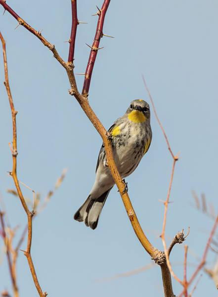 Yellow-rumped Warbler Photograph - Warbler Pose by Loree Johnson