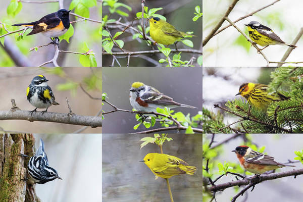 Wall Art - Photograph - Warblers Spring Migration 2019 by Mircea Costina Photography