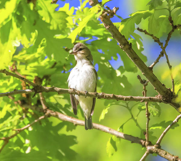 Photograph - Warbling Vireo by Dan Sproul