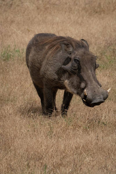 Photograph - Warm And Fuzzy Warthog by Mary Lee Dereske