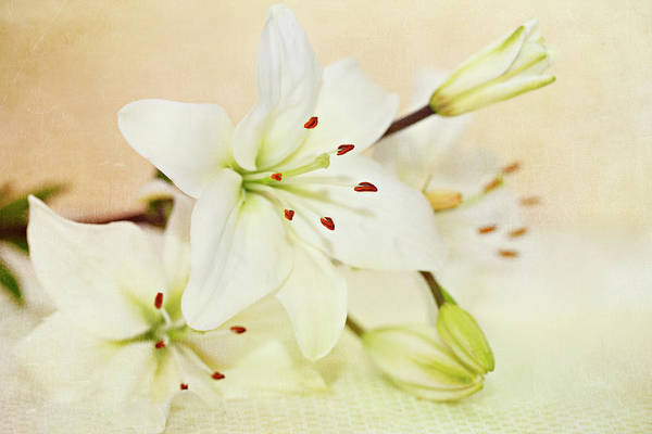 Warmth Of Lily White Lilies Art Print