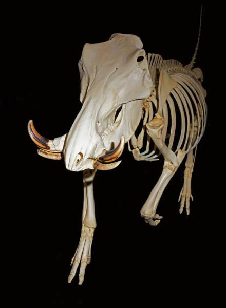 Wall Art - Photograph - Warthog Skeleton by Millard H. Sharp