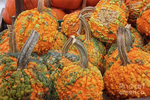 Photograph - Warty Pumpkins by Karen Adams
