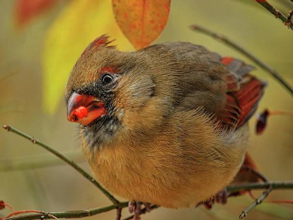 Photograph - Wary Fall Female Cardinal by Dale Kauzlaric
