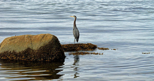 Photograph - Wary Heron by Cameron Wood
