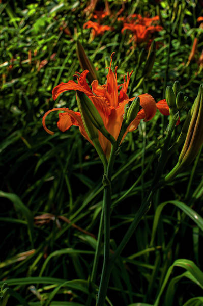 Photograph - Wash-house Lily by Robert Ullmann