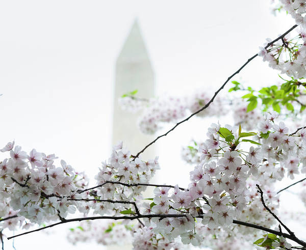 Tidal Basin Photograph - Washington Monument With Cherry Blossoms by Drnadig