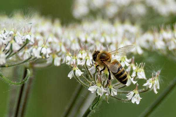 Photograph - Wasp On Cow Parsley by Scott Lyons