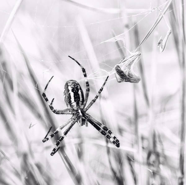 Photograph - Wasp Spider In Action by Jaroslav Buna