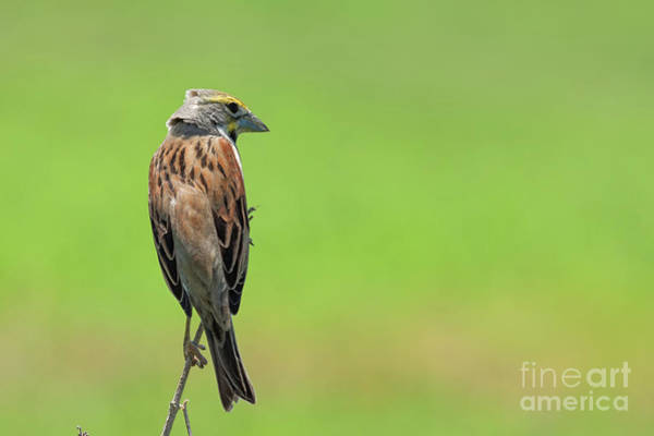 Photograph - Watchful Dickcissel by David Cutts
