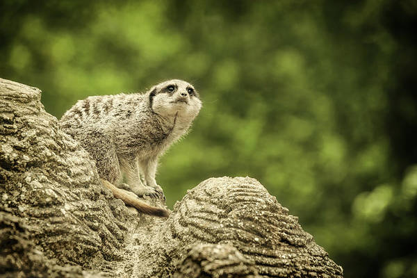 Photograph - Watchful Meerkat by Chris Boulton