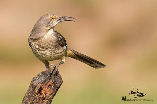 Photograph - Watchful Thrasher by David Cutts
