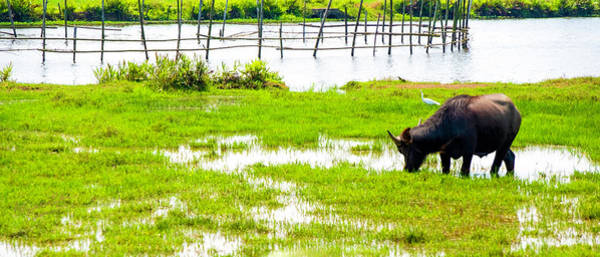 Wall Art - Photograph - Water Buffalo In Vietnam by Madeline Ellis