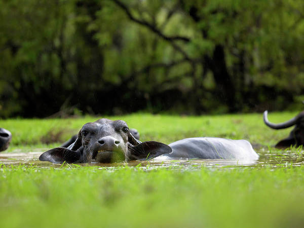 Rain Photograph - Water Buffalo Wallow In Rice Paddy by Cultura Exclusive/philip Lee Harvey