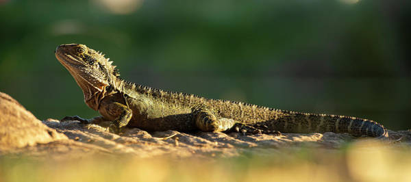 Photograph - Water Dragon Lizard Outdoors by Rob D Imagery