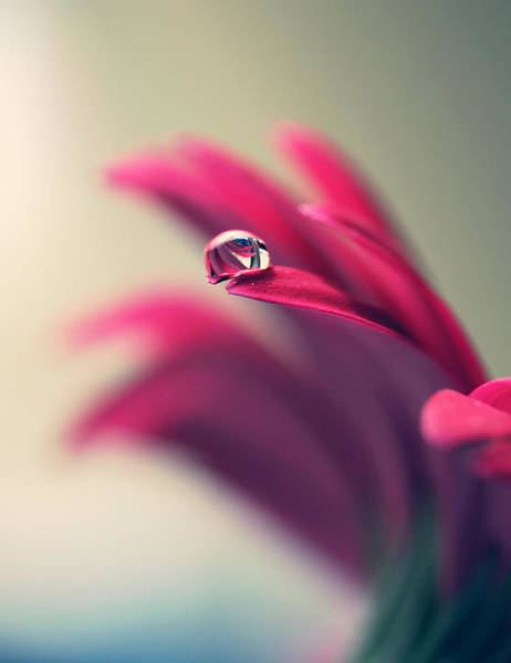 Petal Photograph - Water Drop On Red Daisy Petal by Coral Staley-hall