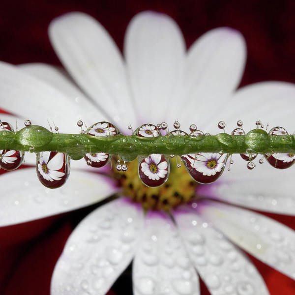 Daisy Photograph - Water Drops And Daisy by Dr T J Martin