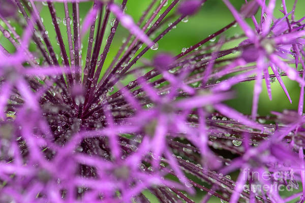 Photograph - Water Drops On Purple Onion Flower by Odon Czintos