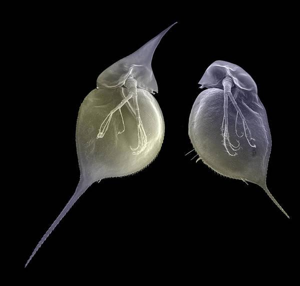 Underwater World Photograph - Water Flea Morphs, Sem by Christian Laforsch