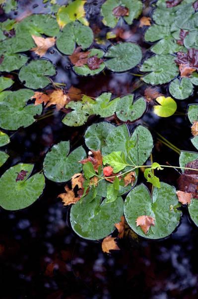 Vertical Garden Photograph - Water Lilies by Guy Bouchet