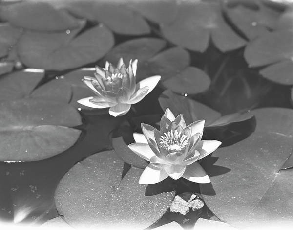 High Water Mark Photograph - Water Lilies On Pond, B&w, Elevated View by George Marks