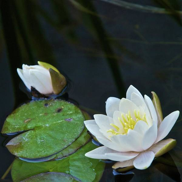 New Leaf Photograph - Water Lilies by Seldom Scene Photography