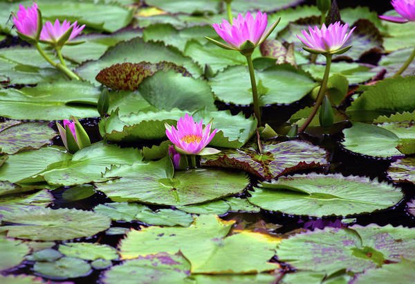 Photograph - Water Lillies by Anthony Jones