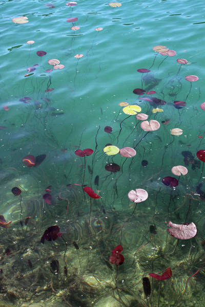 Wave Photograph - Water Lillies by Suzyco