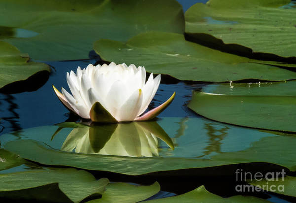 Photograph - Water Lilly by Michael D Miller
