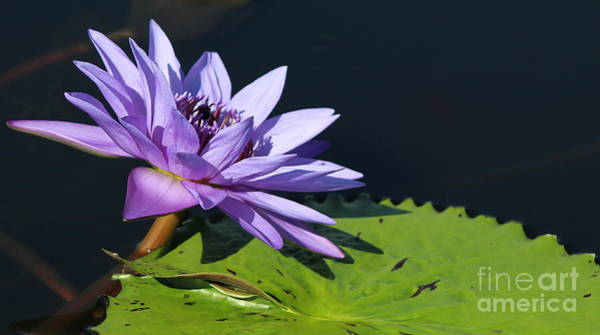 Wall Art - Photograph - Water Lily - A Vision In Purple by Dora Sofia Caputo Photographic Design and Fine Art