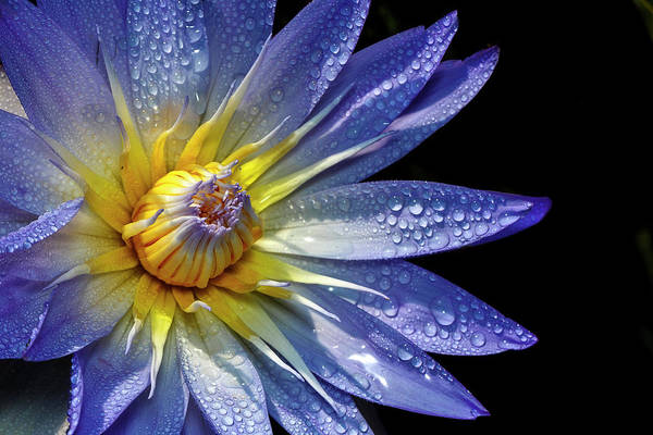 Photograph - Water Lily Covered In Dew by Wes and Dotty Weber
