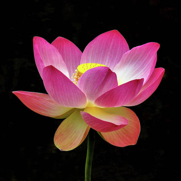 Photograph - Water Lily In The Light by Howard Bagley
