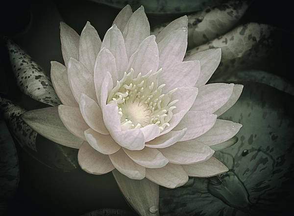 Photograph - Water Lily In White by Julie Palencia