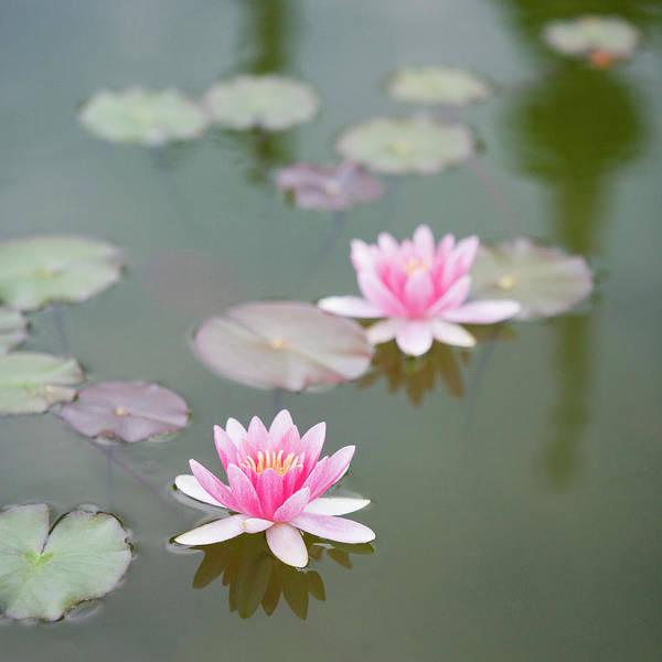 Lake Photograph - Water Lily, Isola Bella Island by Studio Box