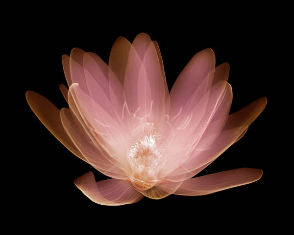 X-ray Photograph - Water Lily Nymphaea Alba by Nick Veasey