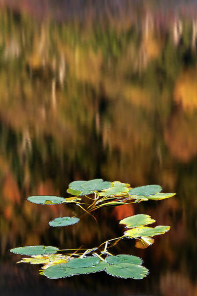 Beaver Pond Wall Art - Photograph - Water Lily On Beaver Pond, White by Adam Jones