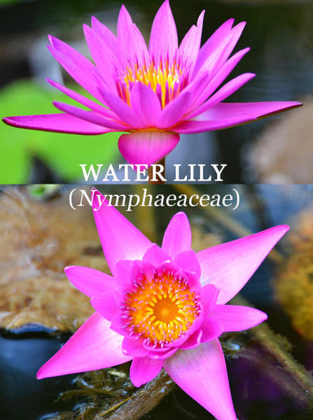 Wall Art - Photograph - Water Lily Poster A by David Lee Thompson